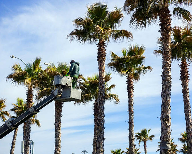 Tips on Finding an Expert Palm Tree Removal Service Provider